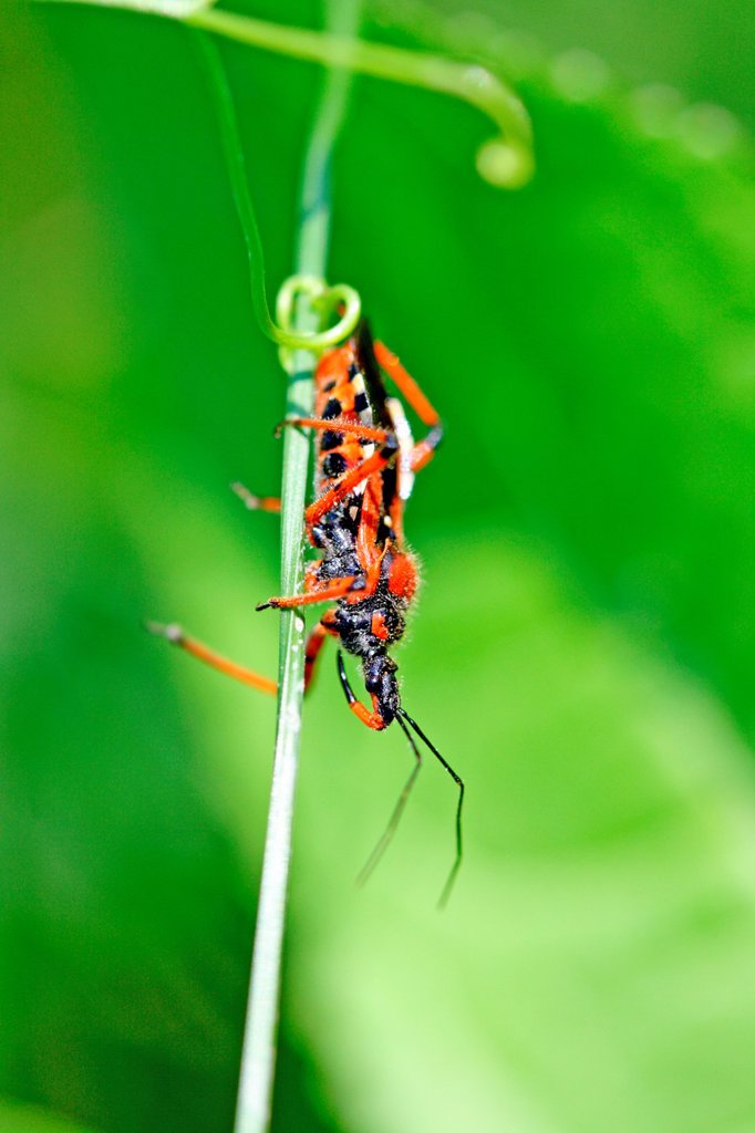 Red Assassin Bug, Rhynocoris iracundus  Aggressive hunter, the bug uses it´s long beak to attack its prey an injects a toxin which liquifies the victim´s body which it then drinks : Stock Photo