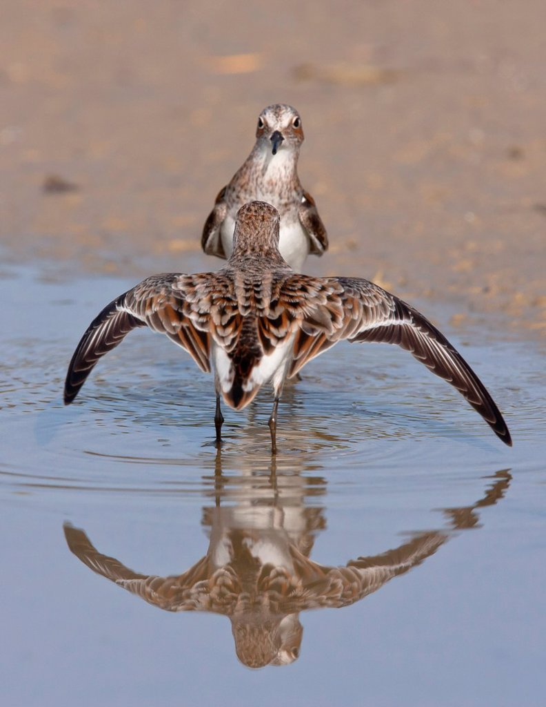 Stock Photo: 1566-1069864 Little stint Calidris minuta fighting  Athens, Greece