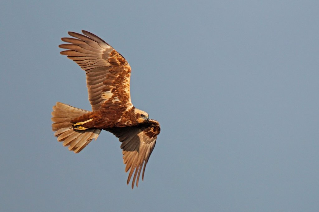 Stock Photo: 1566-1069976 Female marsh harrier Circus aeruginosus in flight. Texel Island. The Netherlands.