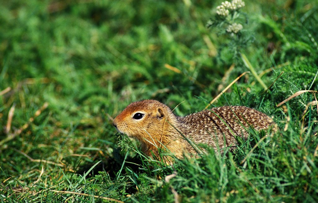 Stock Photo: 1566-1070651 Black-Tailed Prairie Dog, cynomys ludovicianus, Adult standing on Grass