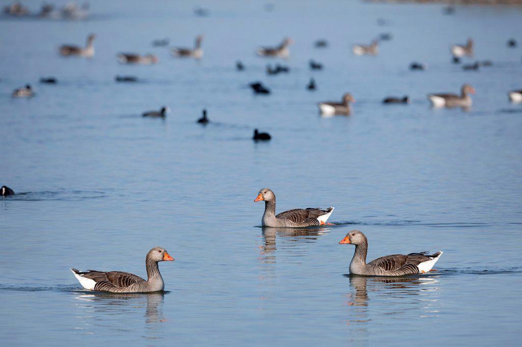 Greylag goose Anser anser in Villafáfila Lagoons Natural Reserve  Villafáfila  Zamora  Castilla y León  Spain : Stock Photo
