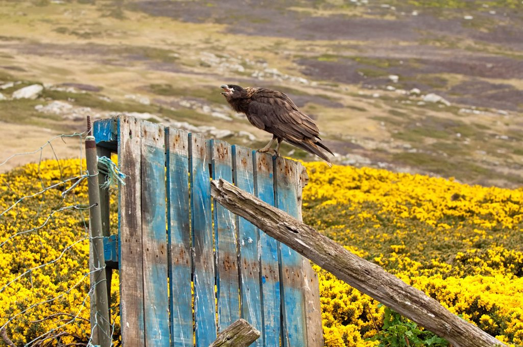 Stock Photo: 1566-1070928 Striated Caracara Phalcoboenus australis on a fence, West Point, Falkland Island