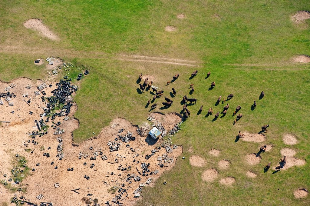 Stock Photo: 1566-1071016 Aerial view of a domesticated herd of american buffaloBison bison in field of junk, Michigan, USA.