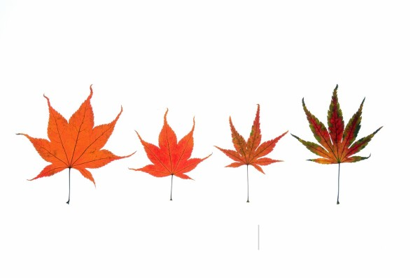 Stock Photo: 1566-1071075 Lovely Various Maple Leaves in autumn against white backround
