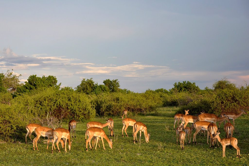 Stock Photo: 1566-1071267 Impalas, Chobe National Park, Botswana