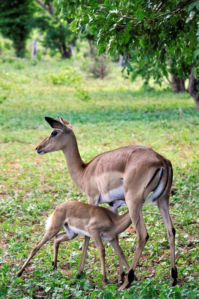 Stock Photo: 1566-1071269 impala, Chobe National Park, Botswana