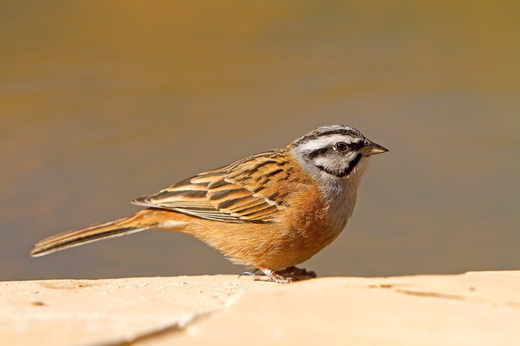 Spain, Lleida Province, Baen, Rock Bunting Emberiza cia, adult male : Stock Photo