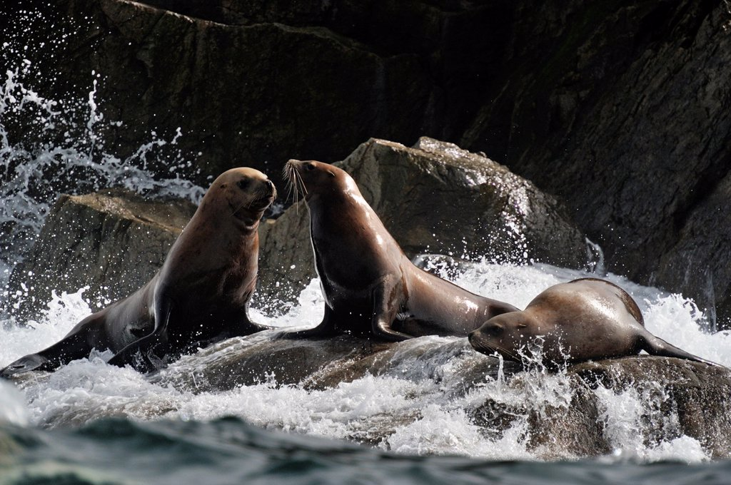 Stock Photo: 1566-1072839 Steller sea lion Eumetopias jubatus Haulout at Ashby Point, Hope Island, Vancouver Is, British Columbia, Canada