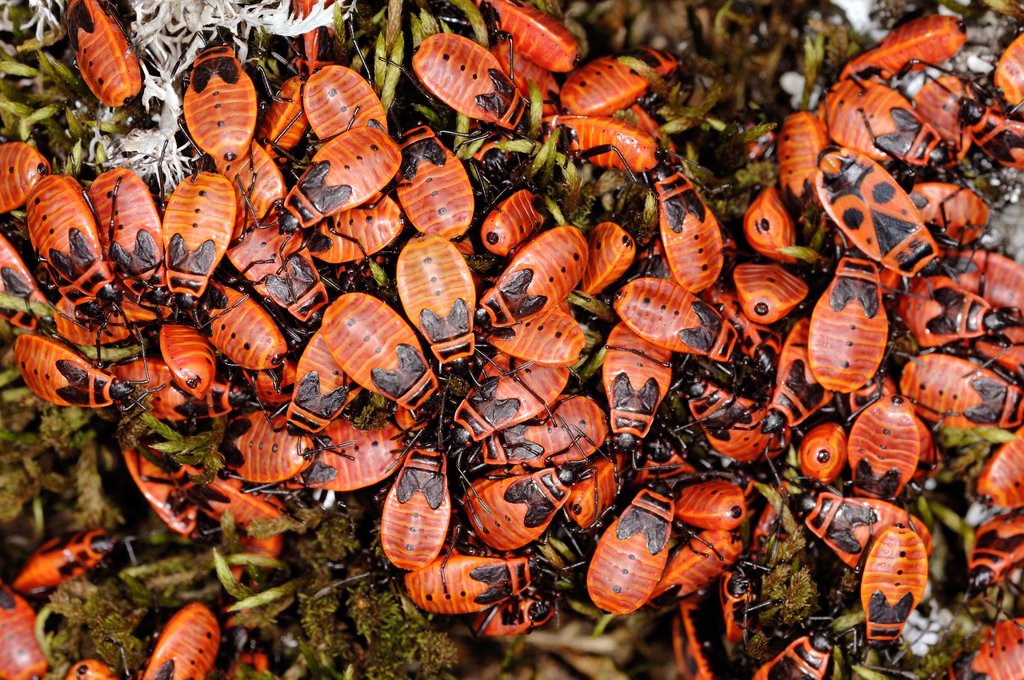 Stock Photo: 1566-1073081 Fire Bugs or Firebugs Pyrrhocorus apterus in Provence France