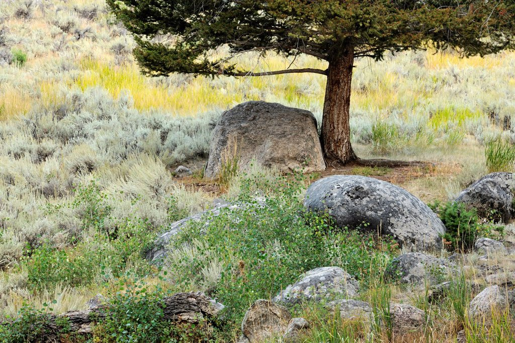 Sage and pines among the erratic boulders of the Columbia Blacktail Plateau, Yellowstone NP, Wyoming, USA : Stock Photo