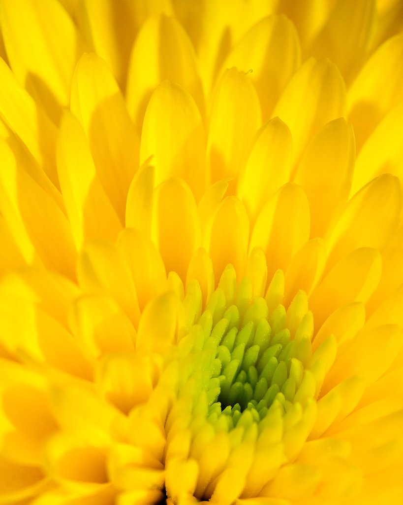 Yellow decorative Dahlia : Stock Photo