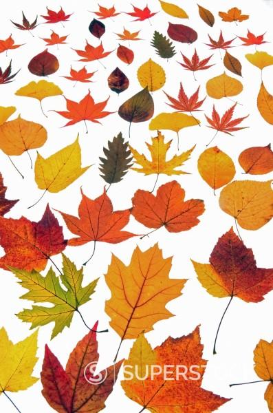 Stock Photo: 1566-1075217 Beautyful autumnal Leaves