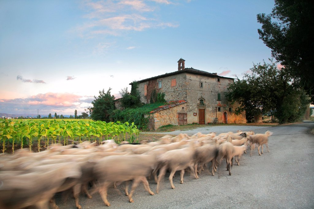 Santa Croce chapel, San Sepolcro, Sheep flock, Tuscany, Italy : Stock Photo