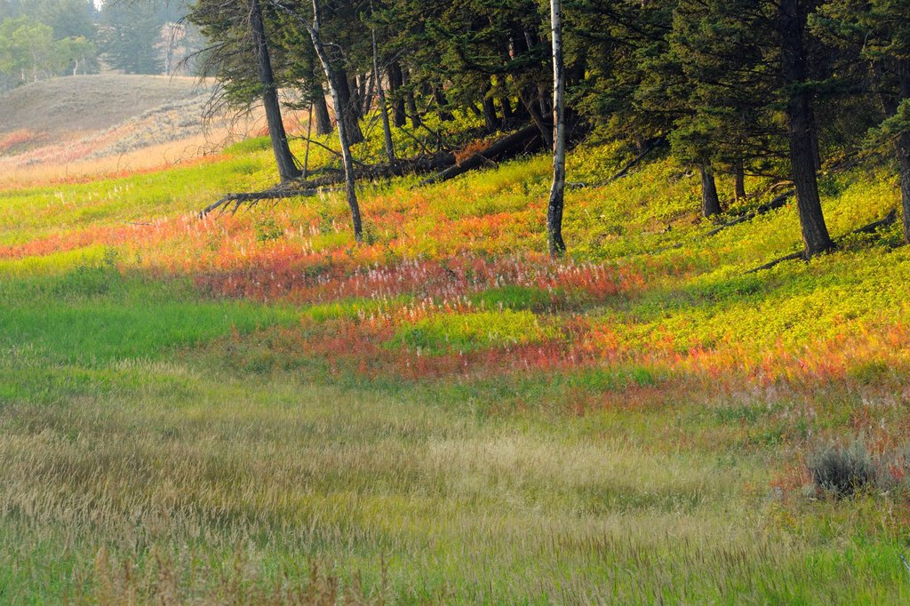 Stock Photo: 1566-1075575 Late-summer fireweed and pines on the Blacktail Deer Plateau, Yellowstone National Park, Wyoming
