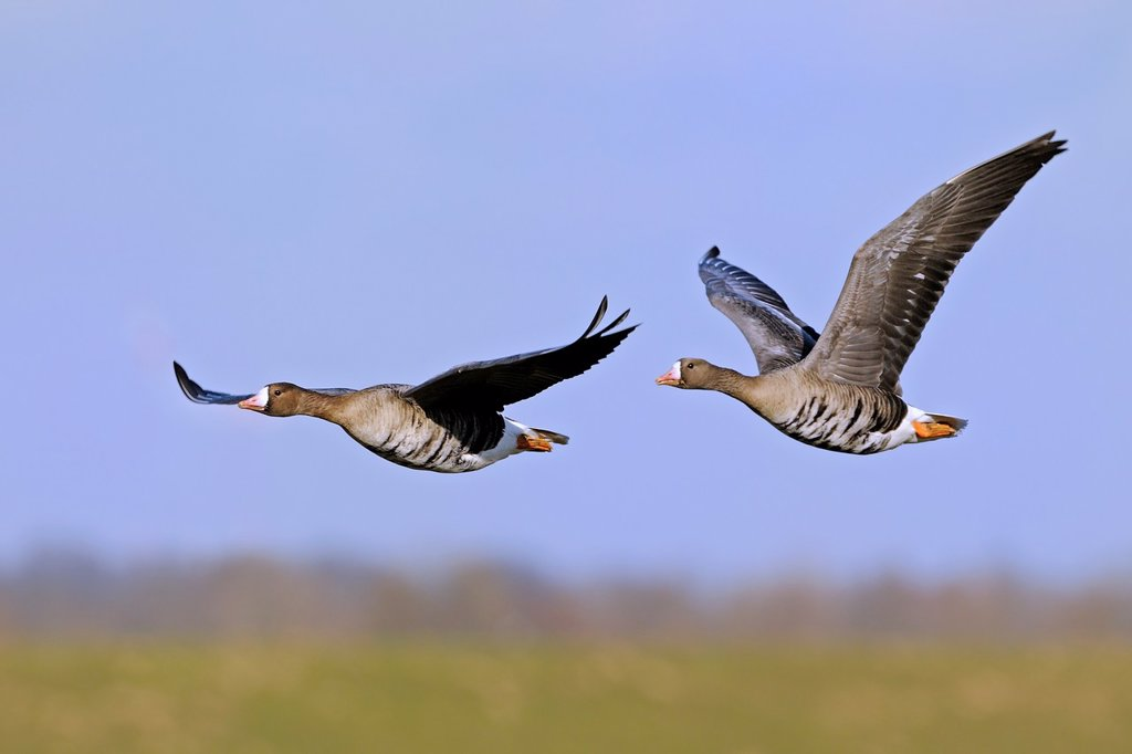 Two white-fronted geese in flight at lower River Rhein, Germany : Stock Photo
