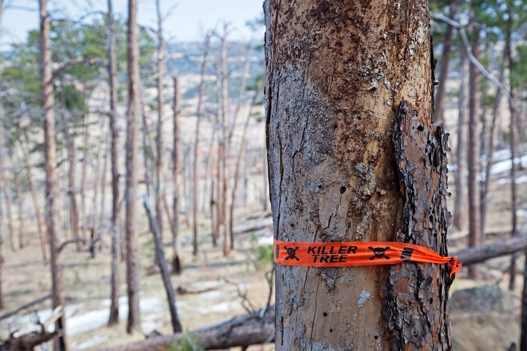 Stock Photo: 1566-1076011 Hulett, Wyoming - A dead tree as a result of a forest fire at Devils Tower National Monument  The park service has marked it as a ´killer tree´ to be cut down because it is close to a trail where it could fall on a visitor