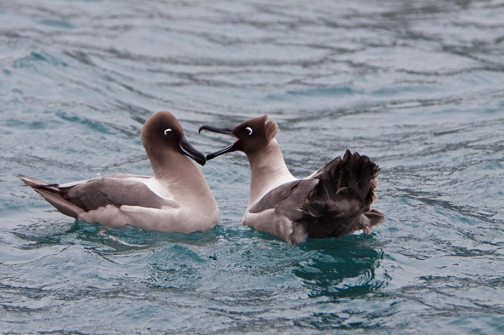 Adult light-mantled sooty albatross Phoebetria palpebrata pair on the water near South Georgia, South Atlantic Ocean : Stock Photo