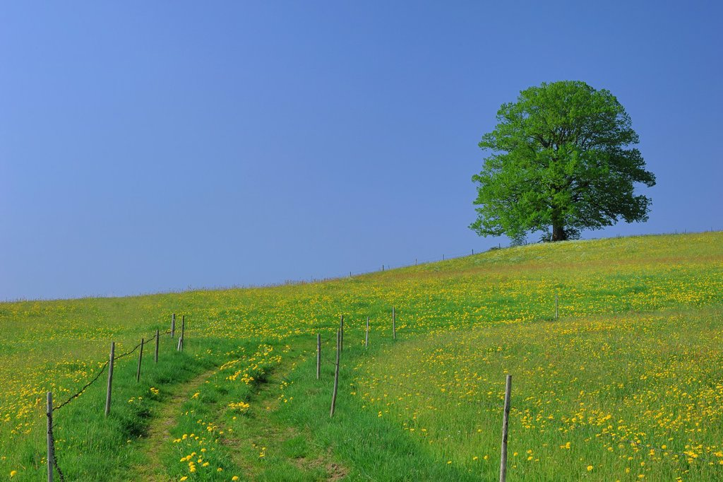 Lime-tree in Blooming Grassland at Spring, Bavaria, Germany : Stock Photo