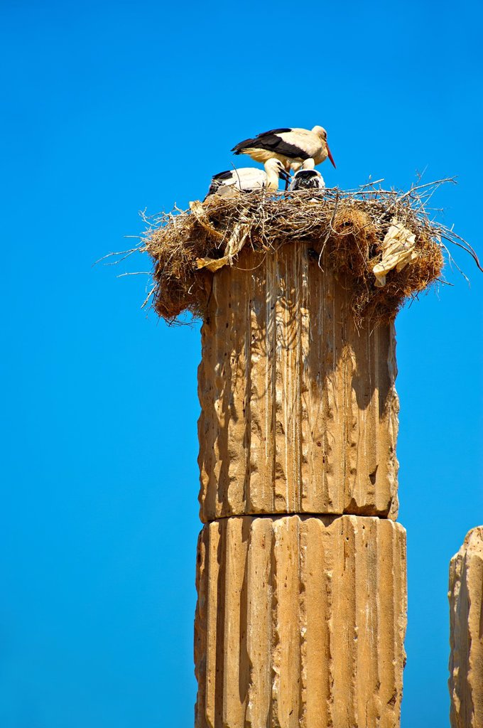 Stock Photo: 1566-1080426 The Hellanistic Ionic columns of the Apollo Smintheion Sanctuary with Storks nesting ontop, near Gulpinar Village Turkey  The Temple of Apollo is dedicated rather bizarrely to Apollo as a Slayer of Mice
