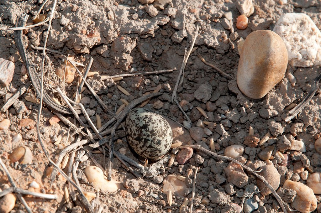 Stock Photo: 1566-1080541 Plover nest with eggs, typically laid in simple ground depressed areas, in the middle of a road, Doñana, Spain