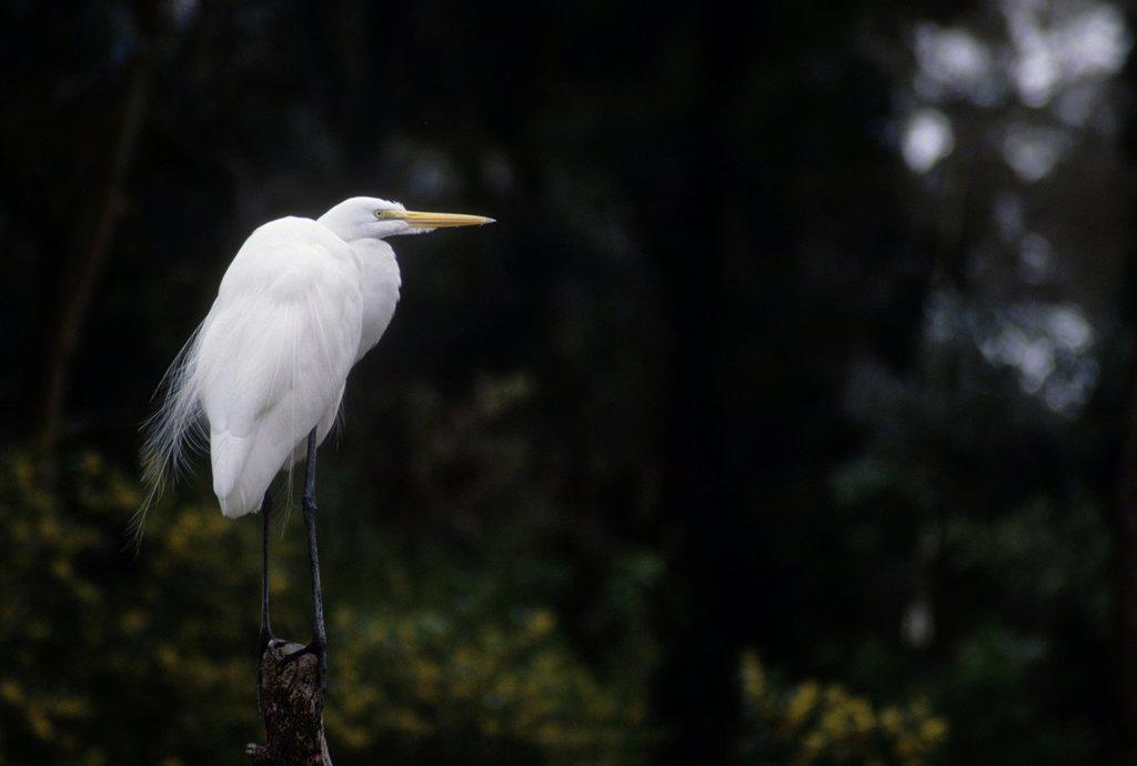 Stock Photo: 1566-1081304 Great egret visitor, San Diego Zoo, Balboa Park, San Diego, California, USA