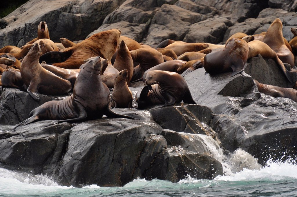 Stock Photo: 1566-1081582 Steller sea lion Eumetopias jubatus Haulout at Ashby Point, Hope Island, Vancouver Is, British Columbia, Canada