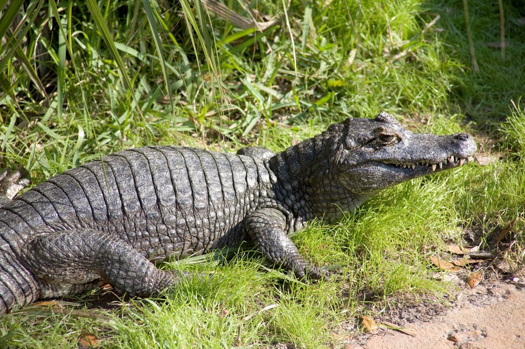 St  Augustine, Florida, Alligator Farm : Stock Photo