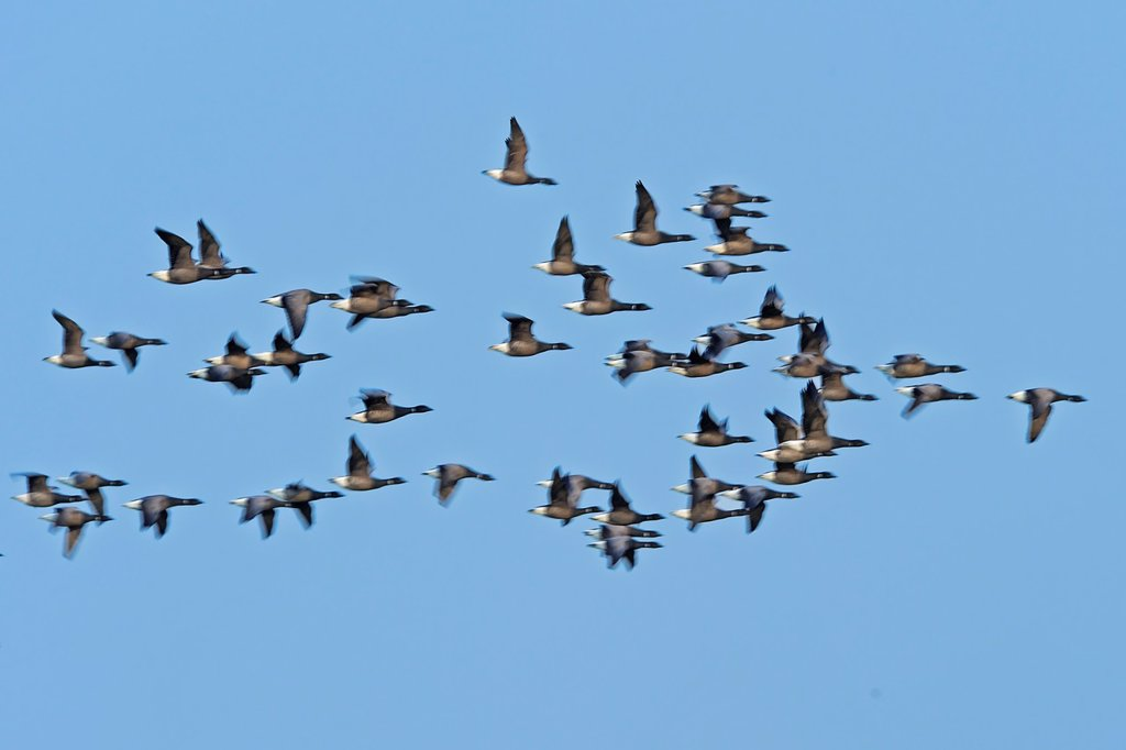 Barnacle geese in flight. Texel Island, The Netherlands. : Stock Photo