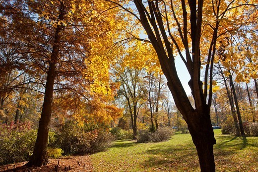 Stock Photo: 1566-1084657 Golden leaves of autumn backlit at Brookside Garden, Montgomery County, Maryland,Mid-Atlantic, USA