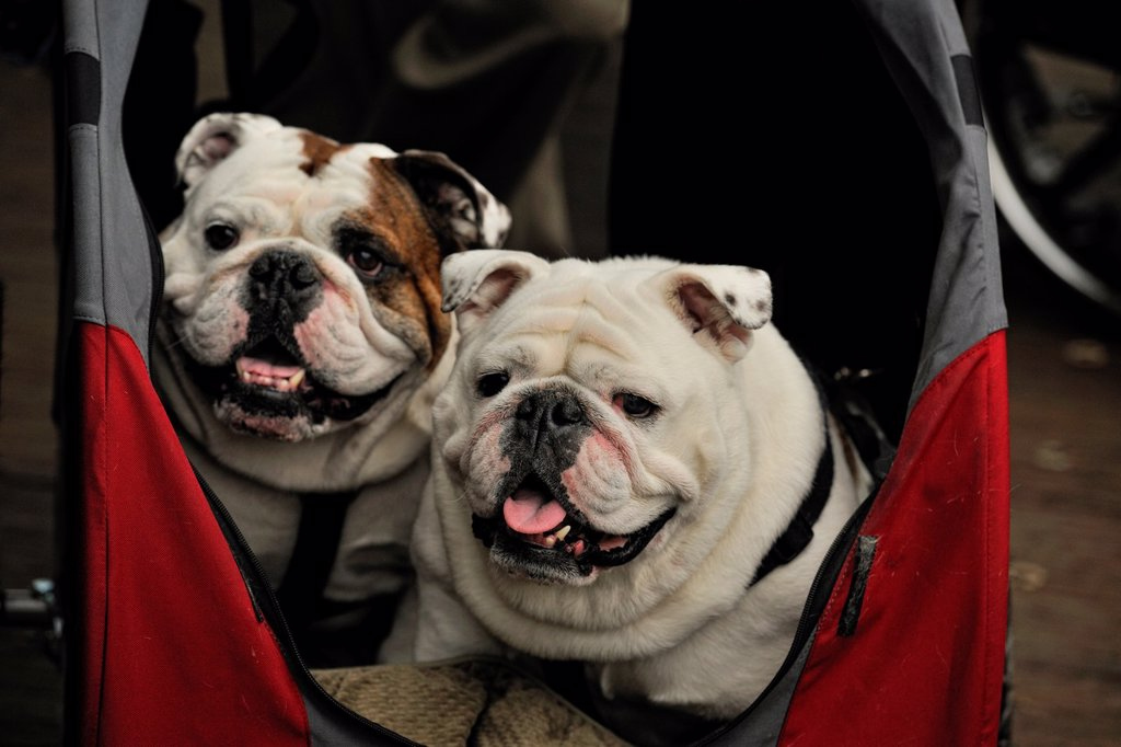 Stock Photo: 1566-1084723 English bulldogs- ´Petunia´ and ´Oscar´ in a child´s stroller Victoria BC