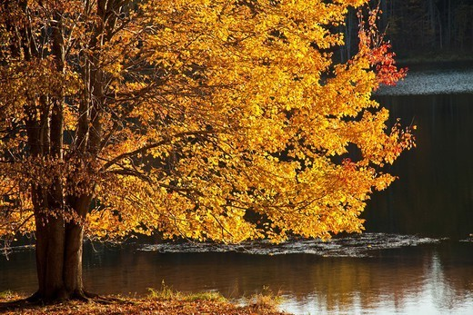 Golden leaves of a maple tree autumn backlit at Seneca Creek State Park, Montgomery County, Maryland,Mid-Atlantic, USA : Stock Photo