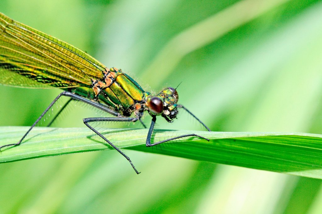 Banded Demoiselle, Calopteryx splendens, female  Mature female on grass  Metallic green damselfly with ruby tipped tail  Small white stigmata  male is metallic blue with banded wings : Stock Photo