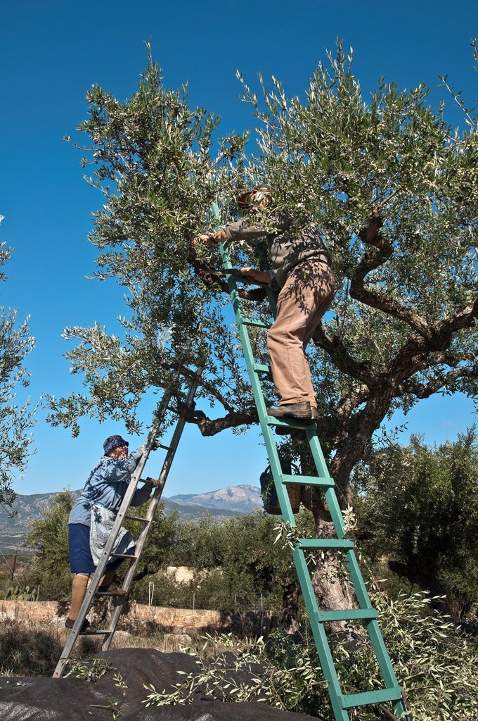 Stock Photo: 1566-1085323 Harvesting Kalamata olives, near Kardamyli in the Outer Mani, Messinia, Southern Peloponnese, Greece