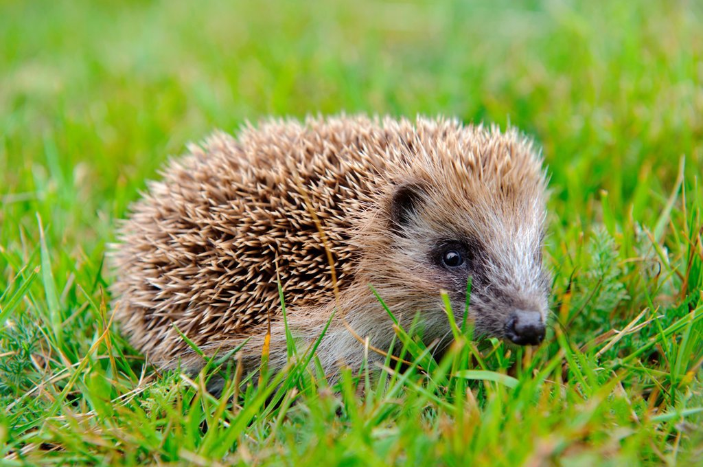 Stock Photo: 1566-1086644 Stock photo of a baby hedgehog