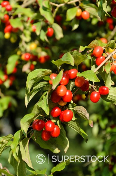 Stock Photo: 1566-1087043 Cornelian cherry Cornus mas