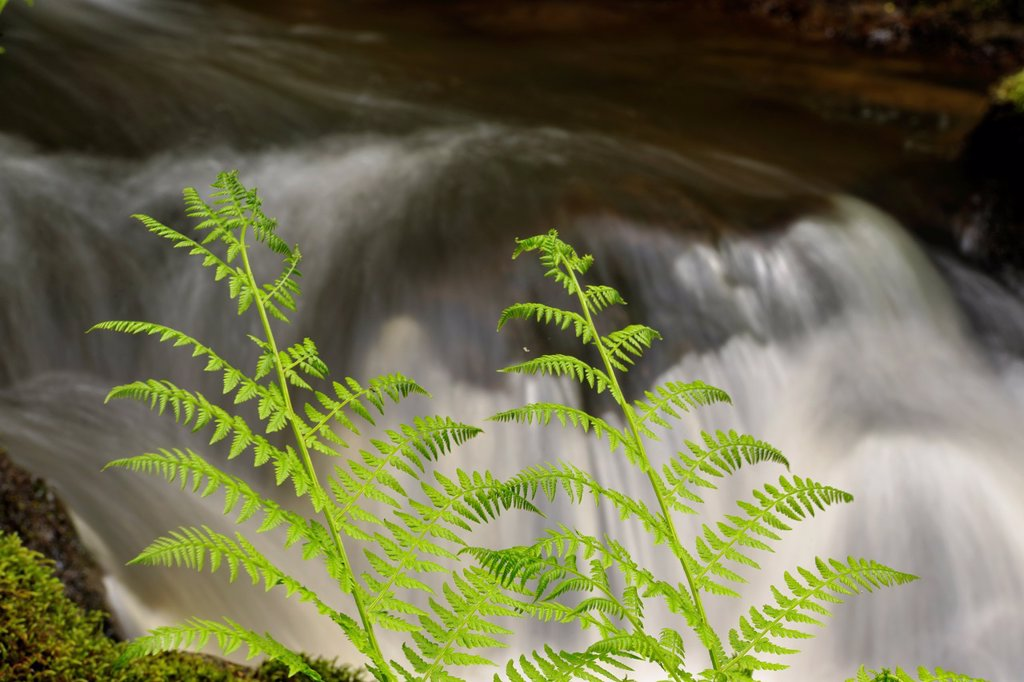 Bilston Creek with lady ferns, Metchosin, BC, Canada : Stock Photo