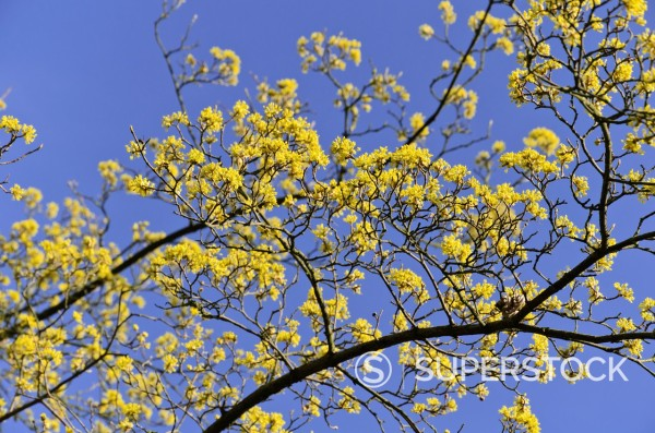 Cornelian cherry Cornus mas : Stock Photo