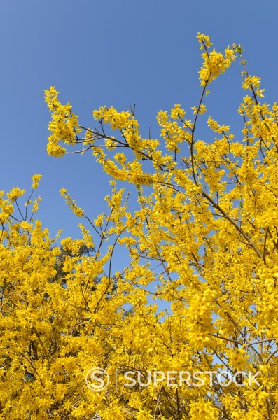 Forsythia Forsythia x intermedia ´Beatrix Farrand´ : Stock Photo