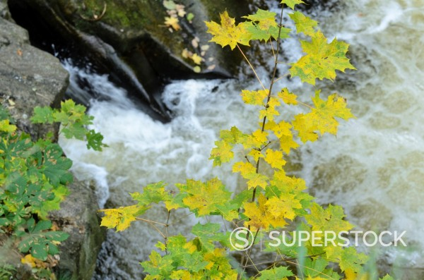 Stock Photo: 1566-1088176 Norway maple Acer platanoides at a mountain brook, Bode Valley NR, Germany