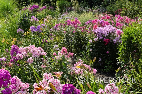 Stock Photo: 1566-1089393 Garden phlox Phlox paniculata  Design: Marianne and Detlef Luedke