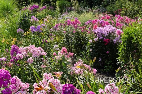 Garden phlox Phlox paniculata  Design: Marianne and Detlef Luedke : Stock Photo