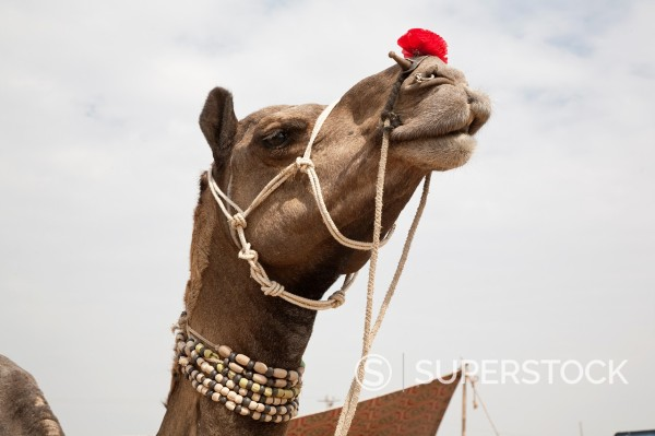 Stock Photo: 1566-1092527 The Pushkar Fair or Pushkar ka Mela, is the annual five-day camel and livestock fair, held in the town of Pushkar in the state of Rajasthan, India  It is one of the world´s largest camel fairs where men buy and sell their livestock, which includes camels,. The Pushkar Fair or Pushkar ka Mela, is the annual five-day camel and livestock fair, held in the town of Pushkar in the state of Rajasthan, India  It is one of the world´s largest camel fairs where men buy and sell their livestock, which incl