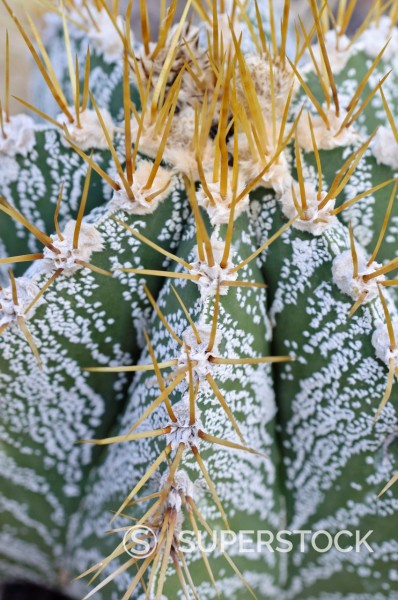 Stock Photo: 1566-1092768 Bishop´s cap cactus Astrophytum ornatum