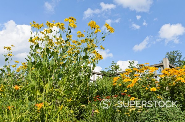 Stock Photo: 1566-1093186 Shiny cone flower Rudbeckia nitida ´Juligold´ and false sunflower Heliopsis helianthoides var  scabra ´Venus´