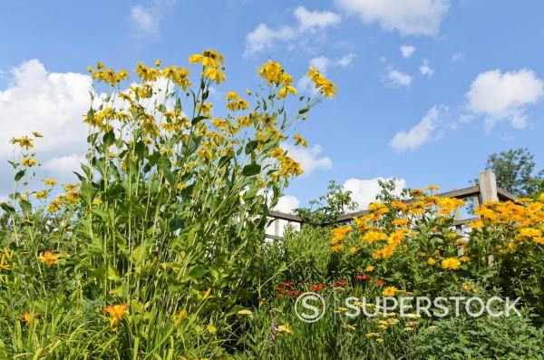 Shiny cone flower Rudbeckia nitida ´Juligold´ and false sunflower Heliopsis helianthoides var  scabra ´Venus´ : Stock Photo