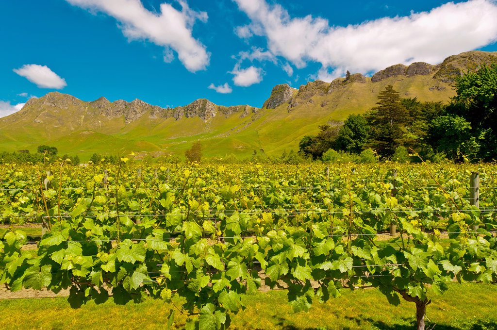 Vineyards of the Craggy Range Winery Te Mata Peak in background, Havelock North, Hawkes Bay, North Island, New Zealand : Stock Photo