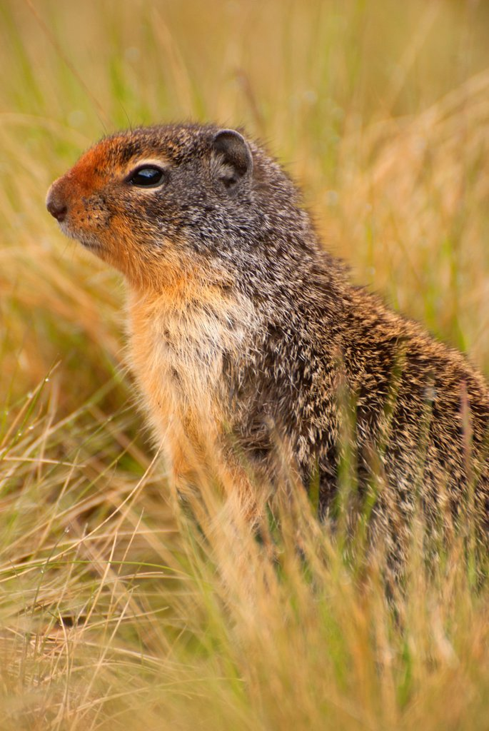 Stock Photo: 1566-1093622 Columbian ground squirrel Urocitellus columbianus, Banff National Park, Alberta, Canada