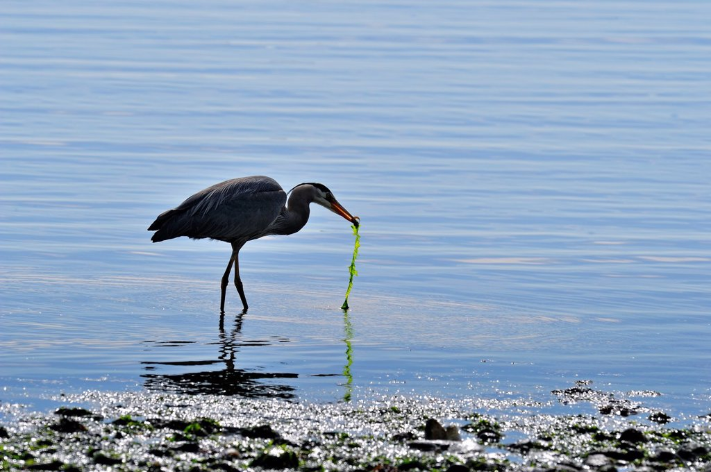 Great blue heron Ardea herodias Feeding in bay at low tide, Victoria Cordova Bay, BC, Canada : Stock Photo
