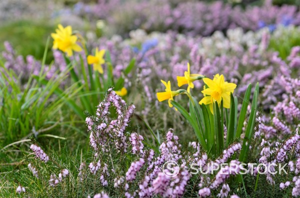 Stock Photo: 1566-1097532 Daffodils Narcissus and winter heather Erica carnea syn  Erica herbacea