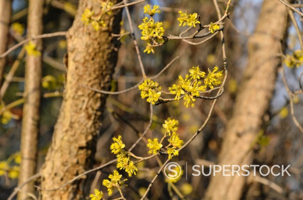 Stock Photo: 1566-1098784 Cornelian cherry Cornus mas